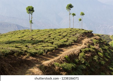 farmland with green tea bushes and a road along the field, growing tea in Darjeeling