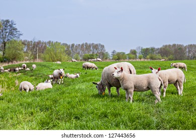 A farmland landscape in holland with herd sheep