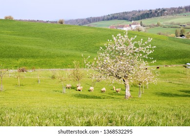 Farmland with sheep under theh blooming cherry tree with white flower blossom in the morning soft sunshine, with Olsberg monastery at the background, Olsberg, Switzerland