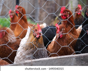Farmyard poultry come in many colours and types. Chickens may be red, blue, white, black or anything in between. They may be hens, pullets, roosters, cockerels or even old broilers.