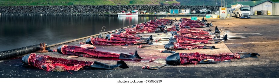 Eiði, Faroe Islands - June 30, 2017 Pilot whale carcasses on shore after a whale hunt called a Grind in the Faroe Islands. The whales are killed by the Faroese for their meat and blubber.