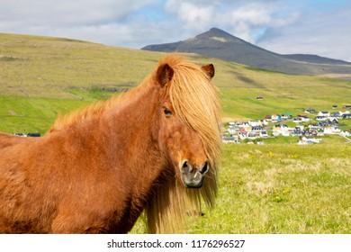 Faroe Pony On A Summer Meadow, Mountain And Saksun Village On Background, Located On The Faroe Islands, Denmark / Icelandic Horse