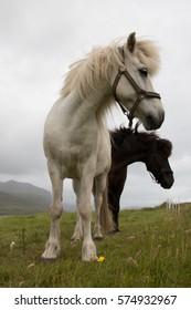 Faroese Horses, Vagar, Faroe Islands