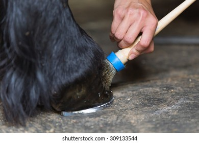 Farrier coating horse hoof with protecting oil.