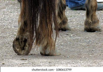 Farrier work. Farrier is a specific form of blacksmithing that works with hoofed animals. This horse has been shod on front, with back feet picked and ready.