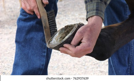 A farrier works a wire brush on a horse foot to clean it before creating a horseshoe for the animal. Farrier differs from Blacksmith because he only deals with caring for the feet of hoofed animals.