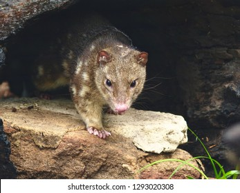Fascinating Dazzling Spotted Quoll Emerging From its Dark Burrow.