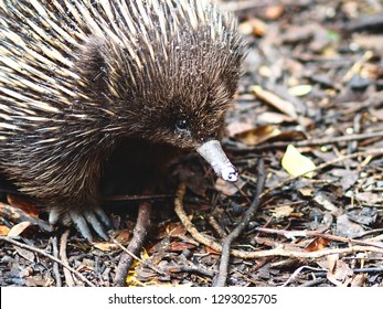 Fascinating Intriguing Short-Beaked Echidna in a Curious Charming Pose.