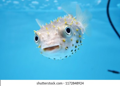 Fascinating puffer face