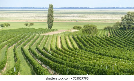 Fascinating vineyards by salty lake Neusiedler in Burgenland, Austria