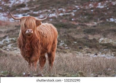 Fashion highland cattle