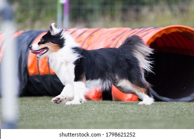 Fast and extended black and white tricolor Australian shepherd running full speed dog agility obstacle. Aussie sheepdog outdoors on dog agility competition. Cute and funny aussie pet in agility tunnel