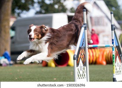 Fast and extended white red brown  Australian shepherd running full speed dog agility obstacle. Aussie sheepdog outdoors on dog agility competition. Cute and funny aussie pet running outside