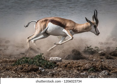fast fleeing african springbok in a cloud of dust near a waterhole in the desert, Namibia, Africa