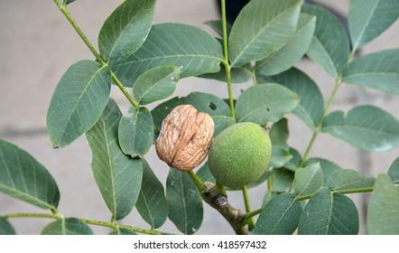 fast growing wallnut tree with walnut fruits