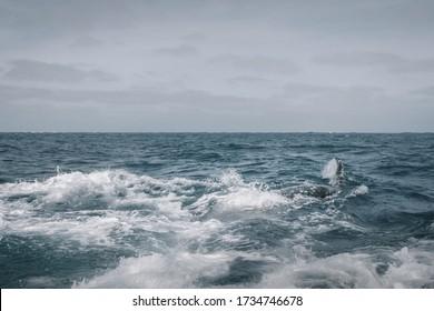 Fast moving whale is making waves. Grey Whale birthing area. Laguna ojo de liebre. Guerrero Negro. Baja California Sur. Mexico.