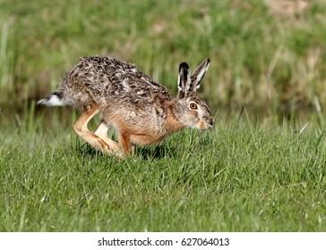 Fast running European brown Hare (Lepus europaeus)