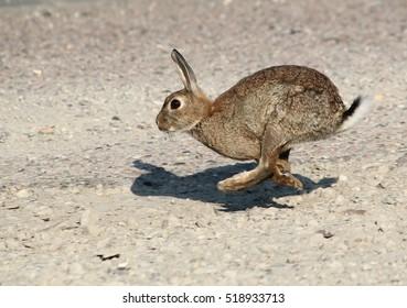 Fast running European Wild Rabbit.