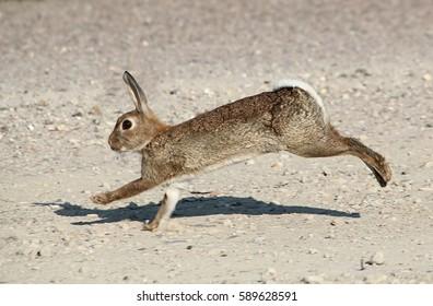 Fast running European Wild Rabbit (Oryctolagus cuniculus)