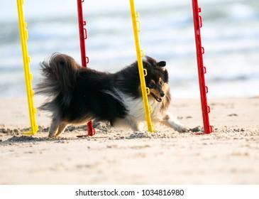 Fast tricolor shetland sheepdog, sheltie running full speed dog agility slalom on the beach, on the seaside. Small, smart little collie, lassie dog going agility