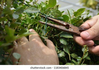 Fastening the wire in a hedgerow with pliers