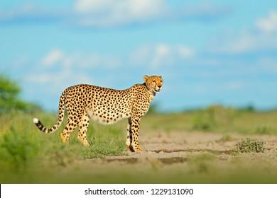 Fastest mammal on the land, Botswana, Africa. African nature, wet season. Cheetah in grass, blue sky with clouds. Spotted wild cat in nature habitat. Cheetah, Acinonyx jubatus, walking wild cat.