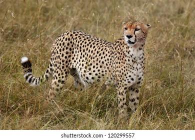 the fastest mammal in the world in the Masai Mara