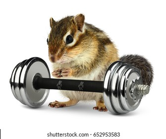 Fat animal chipmunk with dumbbell, fitness concept