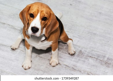a fat Beagle dog sits on the floor and waits for food.