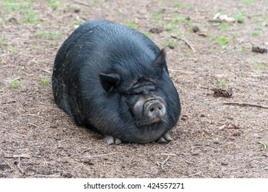 Fat Black Pig Sitting on the Ground