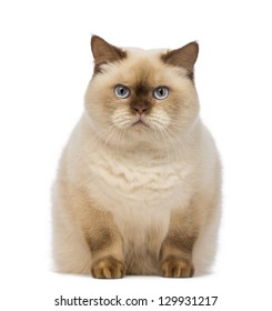 Fat British Shorthair, 2.5 years old, sitting and looking at the camera in front of white background