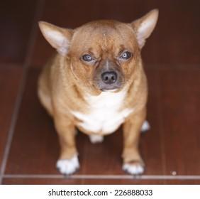 Fat Brown Chihuahua dog looking up