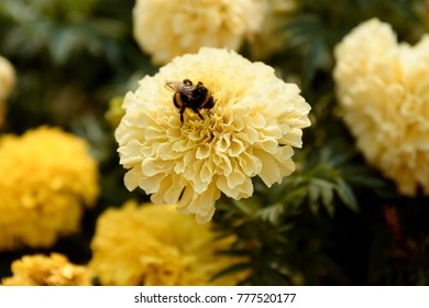 A fat bumble bee landed on a large yellow flower and was engaged in pollination