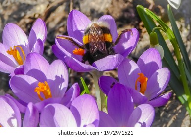Fat bumblebee collecting pollen on purple crocuses. Bee insect dives into blossoms in spring. Funny bumblebee queen doing flower acrobatics. Legs up and head upside-down.