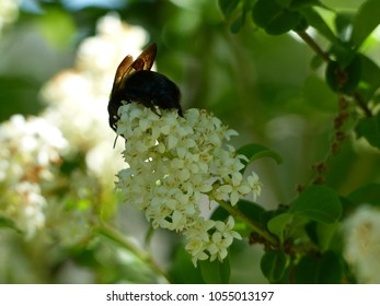 A Fat Bumblebee on a Butterfly Bush