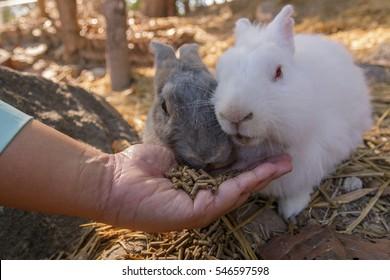 Fat fluffy bunny eating food.