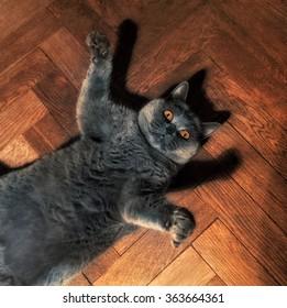 Fat funny British cat lying on the floor