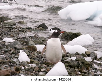 Fat Gentoo Penguin on the beach