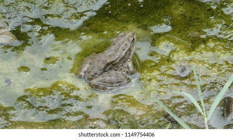 Fat green frog sitting in water. Wild animal in real nature. Summer day.