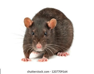 Fat grey rat isolated on white background close up