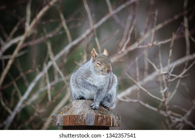 fat grey squirrel sitting on post, soft defocused background of branches. Cute face squinting eyes.