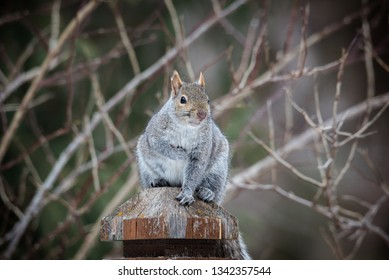fat grey squirrel sitting on post, soft defocused background of branches
