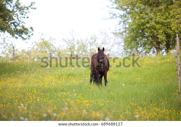 Fat Horse in Meadow eat too much grass