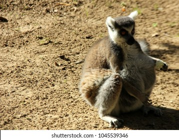 [Image: fat-lemur-sits-on-ground-260nw-1045539346.jpg]