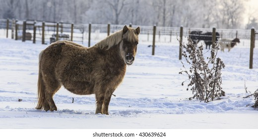 fat old pony in a snowy field with moisture frozen on his face