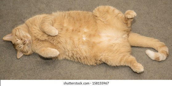 Fat Cat Images, Stock Photos & Vectors