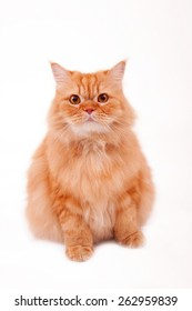 Fat persian orange furry cat.Kitten sitting straight while looking at the camera on white background.