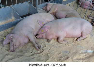 Fat pigs sleep on the farm. Agriculture
