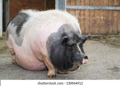 pigs Fat ugly