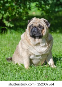 Fat pug dog on the grass in the park.
